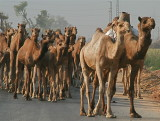 And then this huge herd of camels walked by...