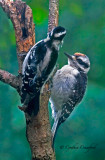 Juvenile Hairy Woodpecker (male) begging