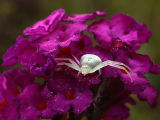Crab Spider on Butterfly Bush