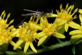 Male Mosquito- Psorophora ferox