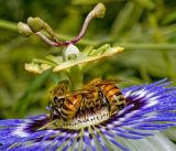 Three Honeybees on Passiflora