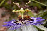 Honeybees on Passiflora