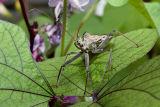 Wheel Bug adult - Arilus cristatus
