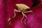 Stink Bug - Euschistus?