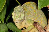 Graceful Chameleon (Chamaeleo gracilis)