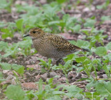 European Golden-Plover