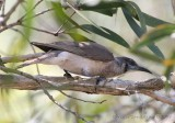 Honeyeaters