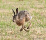 Pikas, Rabbits and Hares