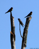 Midday Swallows