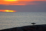 Oystercatcher in sunset