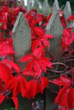 Red leaves on the fence