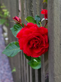 Red rose looking out