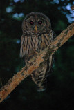 Barred Owl in bad light.