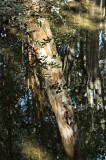Reflected arrayan tree, Lago Puelo