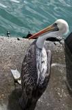 Pelican, Mercado Fluvial, Valdivia