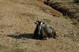 Goat in Butrint National Park