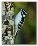 downeywoodpecker.jpg