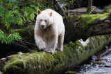 Spirit Bear - look at his white toe nails.  The logs make him look small but he's a big bear.