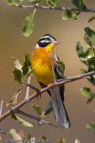 This one is posing.  Male Golden-Breasted Bunting