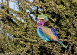 A fluffy lilac breasted roller