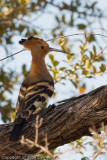 Hoopoe.  I just can't seem to get a good picture of these birds. Want one with the crest fully up.