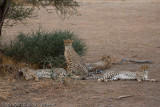 4 Cheetahs.  We saw them 5 days out of 6