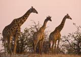More Giraffes