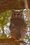 Giant Eagle Owl