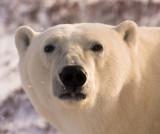 2009_polar_bears