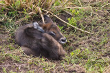 Newborn waterbuck sleeping in the grass