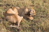 Captured by lions!