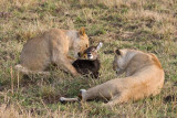 The young lion cub really played with the baby waterbuck