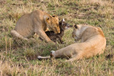 I was there over half an hour and the lion cub did not kill the baby waterbuck.  Don't know what happened after I left.
