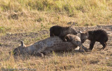 Hyena cubs with mom