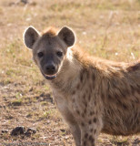 Adult hyena with that sinister grin