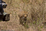 The leopard walked in front of the row of vehicles that were watching her