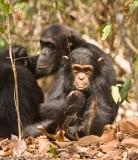 Caesar the chimpanzee at Mahale