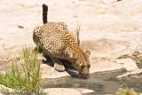 Leopard mom drinking