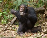 Chimpanzee looking for pests