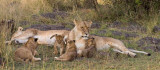 Moms with 2 sets/ages of cubs