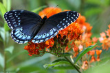 Diana Fritillary Butterfly, Female