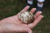 Close up of osprey egg