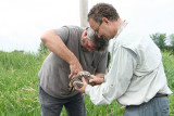 Mike holds his first osprey for banding.