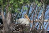 Hen is still on the nest.