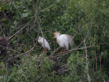 Pair of cattle egrets