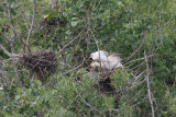 Cattle egret nest