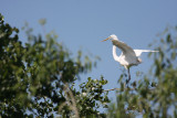 Great egret on branch