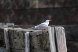 Tern at boat landing