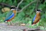 Blue-winged Pittas