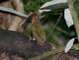 Streak-breasted Woodpecker